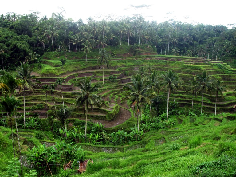 Rice terraces near Ubud in Bali.