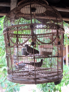 Bambang's caged singing birds, which he loves. He has three more like this with different breeds ,some from Japan. Not something I like to see, they should be free!