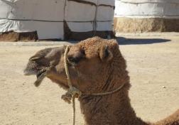Camel stop at Yurt camp on route to Khiva, Uzbekistan.
