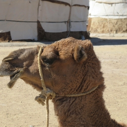 Camel stop at Yurt camp on route to Khiva, Uzbekistan.