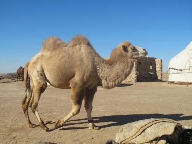 Flouncy camel at Yurt camp, Uzbekistan.
