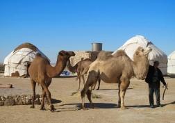 Yurt camp Camels in desert between Nukus and Khiva, Uzbekistan.