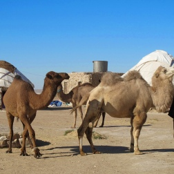 Yurt camp Camels in desert between Nukus and Khiva, Uzbekistan.